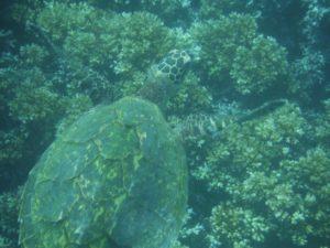 Tortue de mer | Isla Coiba | Panama