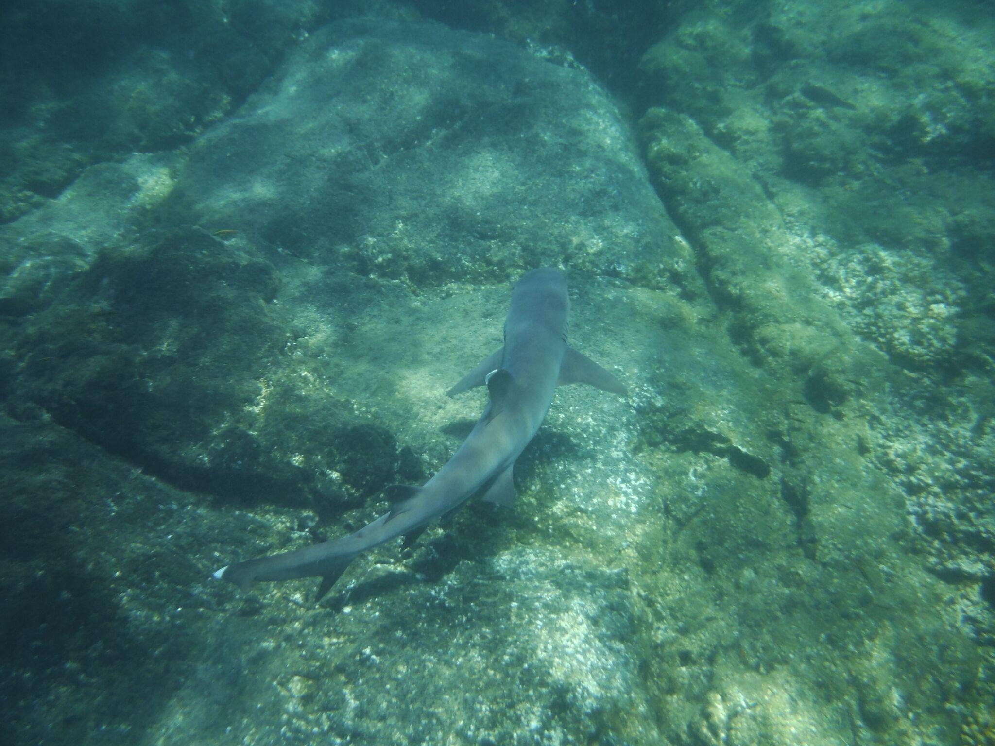 Requin isla Coiba | Panama