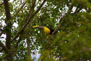 Toucan | Dominical | Costa Rica