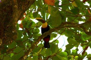 Toucan | Uvita | Costa Rica