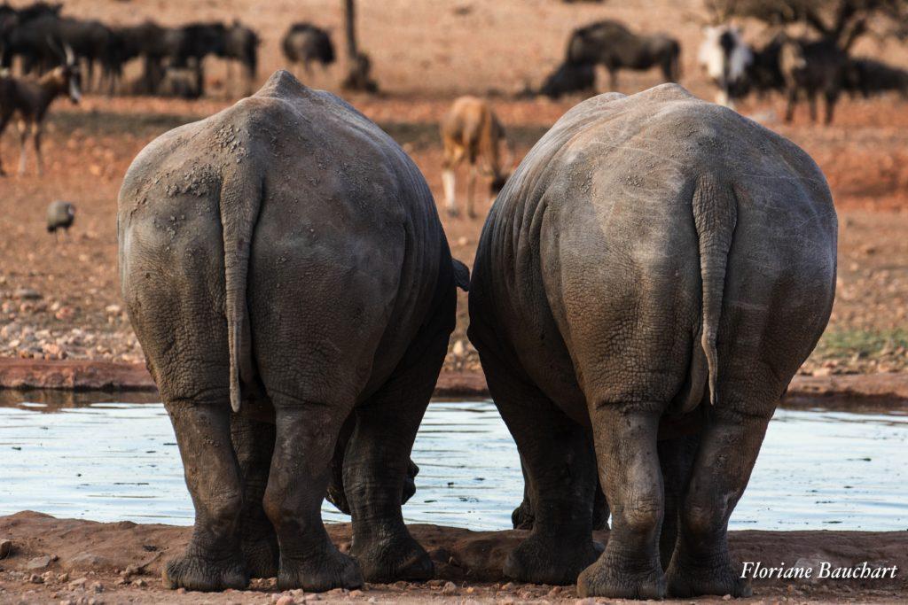 rhinoceros etosha