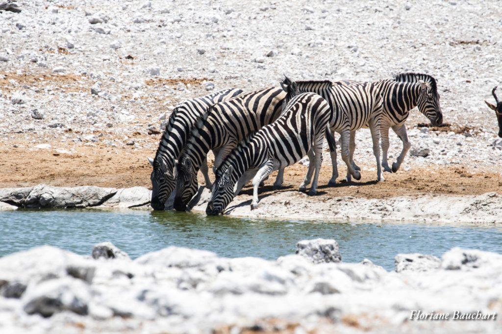 zebres boivent etosha