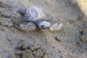 tortues | Nicaragua